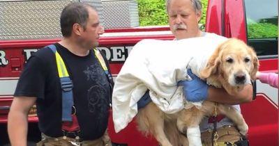 Blindenhund springt vor fahrenden Bus um Frauchen zu retten